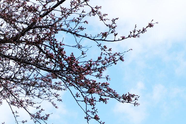 桜の開花情報【2021.4.5】