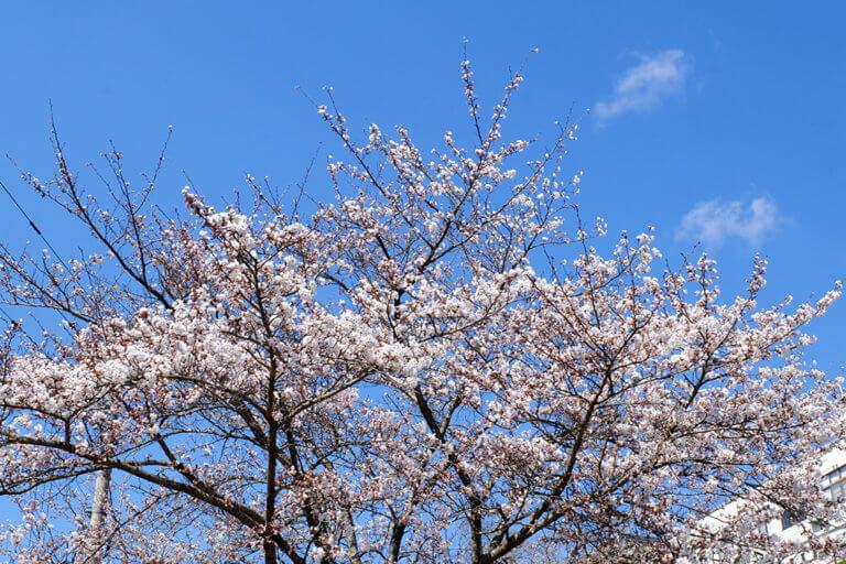 桜の開花情報【2021.4.10】