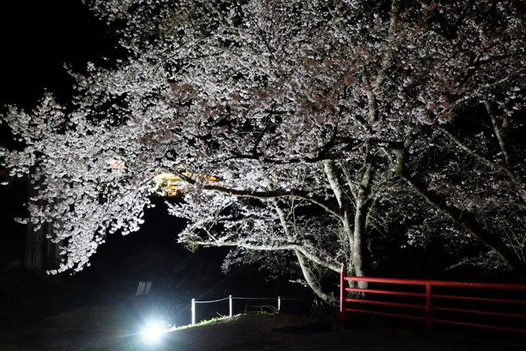 夜桜を楽しみませんか?